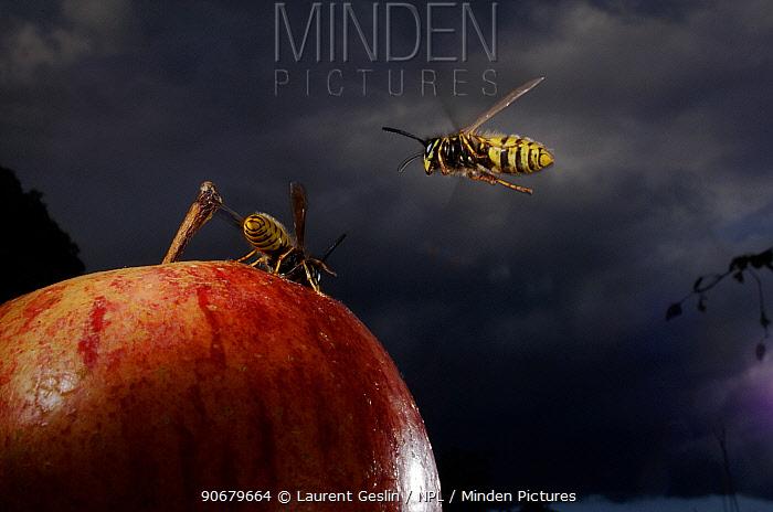 Common wasp (Vespula vulgaris) two workers flying to and feeding on apple, UK  -  Laurent Geslin/ npl