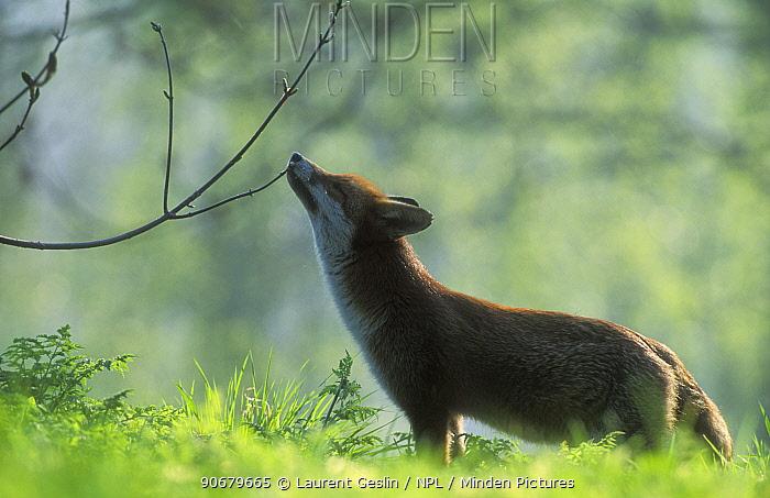 Red fox (Vulpes vulpes) sniffing a tree branch, UK  -  Laurent Geslin/ npl