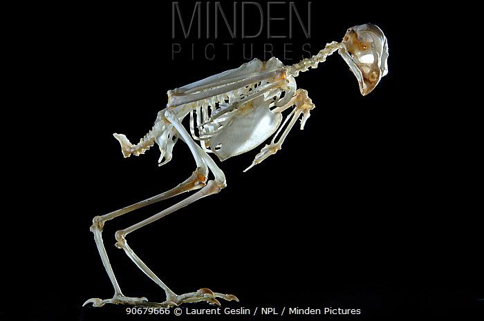 Skeleton of a Sparrowhawk (Accipiter nisus)  -  Laurent Geslin/ npl