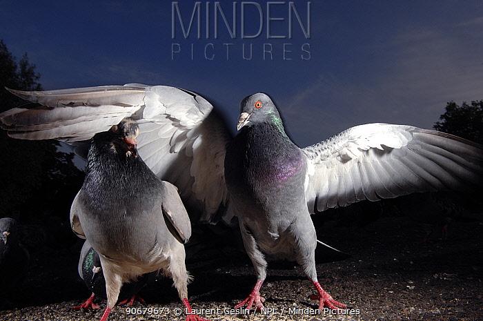 Rock dove, Feral pigeon (Columba livia) pair interacting, London, UK  -  Laurent Geslin/ npl