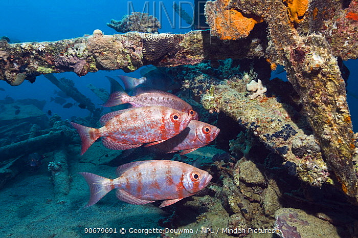 Big-eye or Goggle-eye (Priacanthus hamrur) on wreck Note colour change from deep red to silver Egypt, Red Sea  -  Georgette Douwma/ npl