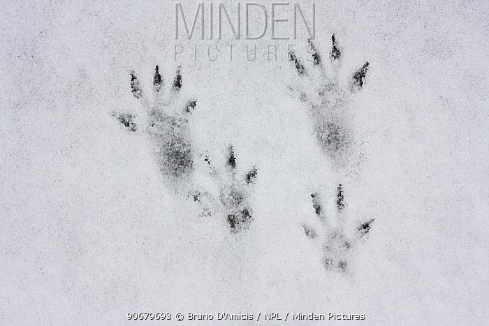 Tracks of Red squirrel (Sciurus vulgaris) in the snow, N Slovakia  -  Bruno D'amicis/ npl
