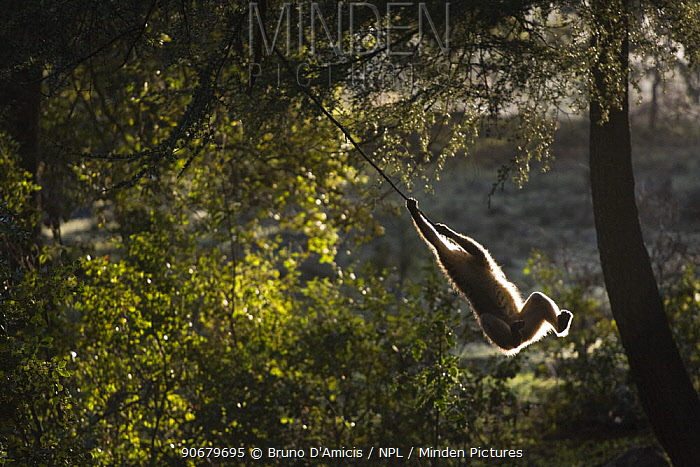 Young Barbary Macaque (Macaca sylvanus) playing among Cedar (Cedrus atlantica) trees, backlit, Endangered species Atlas mountains, Morocco, NW Africa  -  Bruno D'amicis/ npl