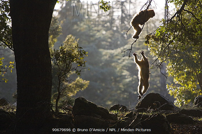 Young Barbary Macaques (Macaca sylvanus) playing among Cedar (Cedrus atlantica) trees, backlit, Endangered species Atlas mountains, Morocco, NW Africa  -  Bruno D'amicis/ npl