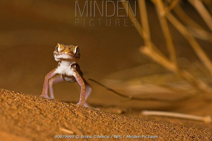 Petrie's gecko (Stenodactylus petrii) on sand dune, Sahara desert, Morocco, NW Africa  -  Bruno D'amicis/ npl