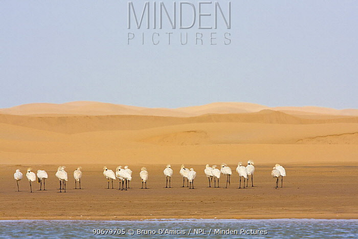 White Spoonbills (Platalea leucorodia) beside Khniffis lagoon, Western Sahara, Southern Morocco, NW Africa  -  Bruno D'amicis/ npl