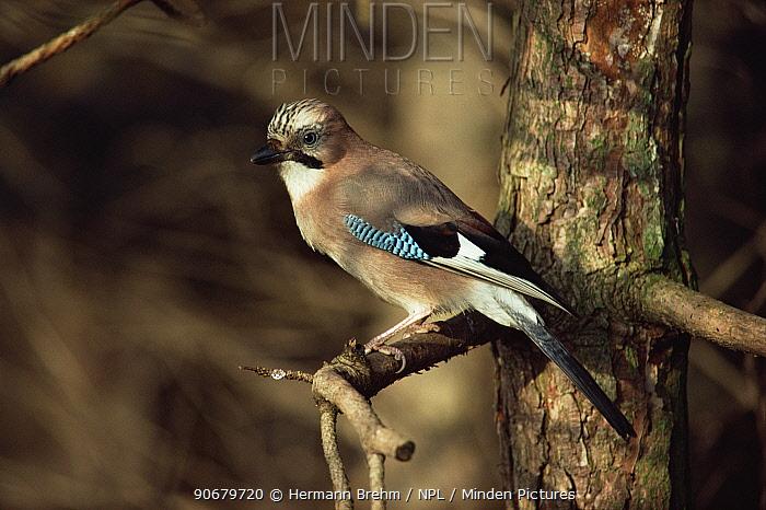 Eurasian Jay (Garrulus glandarius) perched on branch, Germany  -  Hermann Brehm/ npl