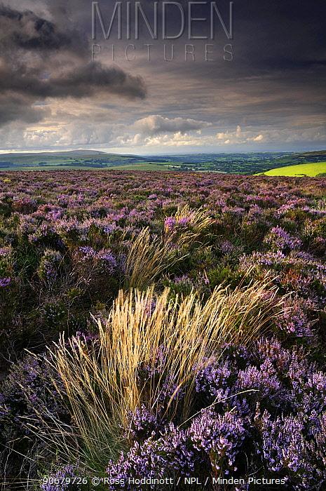 Heather and moorland view, near Birch tor, Dartmoor NP, Devon, UK, August 2008  -  Ross Hoddinott/ npl