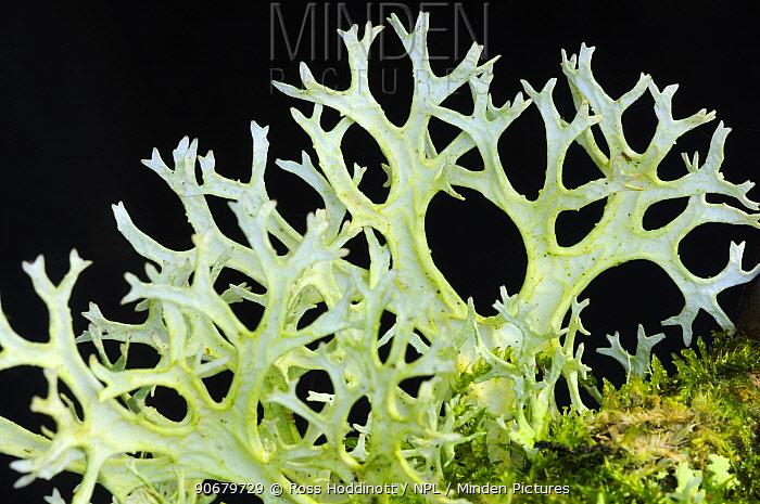 Oakmoss' lichen (Evernia prunastri) on oak tree branch, Exmoor National Park, Somerset, UK October  -  Ross Hoddinott/ npl