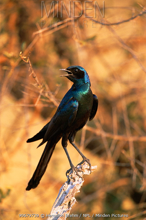 Long-tailed Glossy starling (Lamprotornis caudatus) calling, Africa  -  Hermann Brehm/ npl