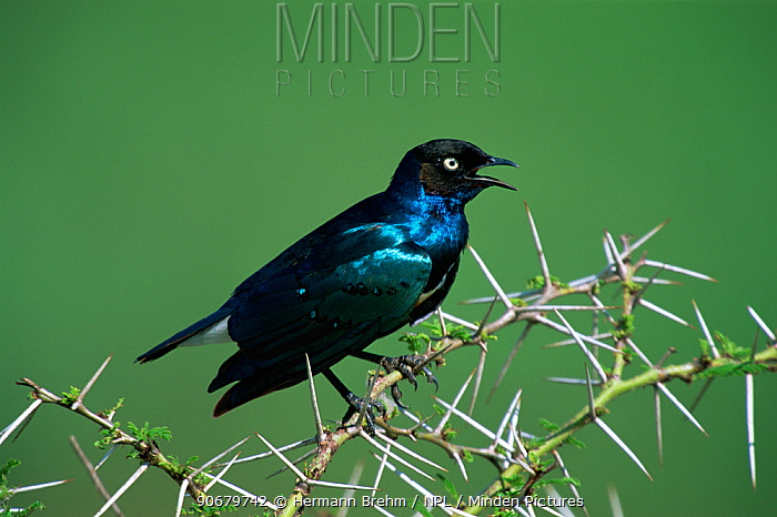Superb starling (Lamprotornis superbus) perched in Acacia tree, calling, Africa  -  Hermann Brehm/ npl