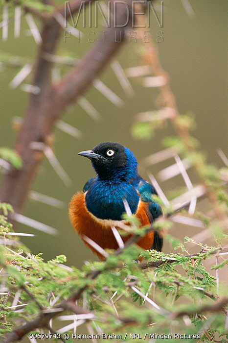 Superb starling (Lamprotornis superbus) perched in Acacia tree, Africa  -  Hermann Brehm/ npl