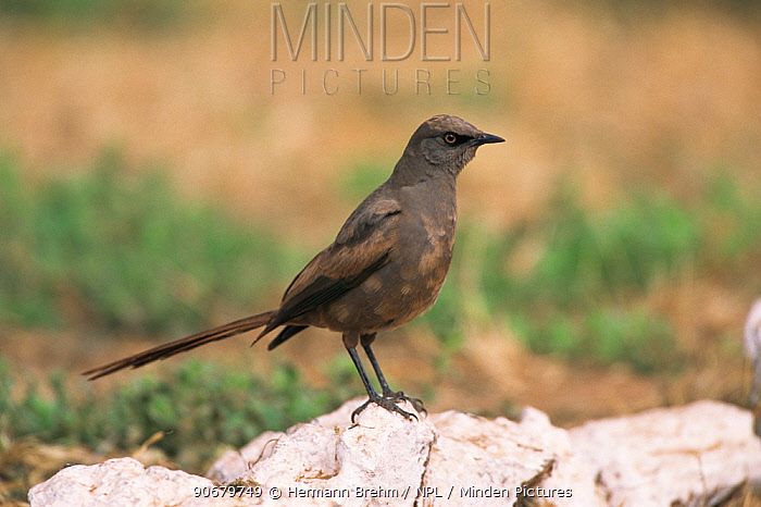 Ashy starling (Cosomopsarsus unicolor) perched on rock, Africa  -  Hermann Brehm/ npl