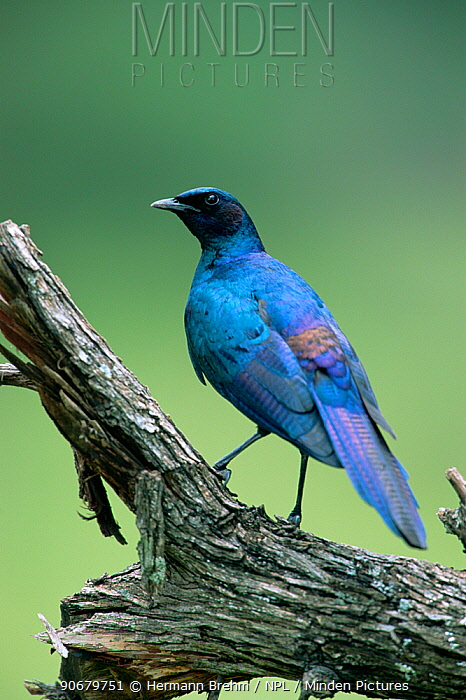 Burchell's glossy starling (Lamprotornis australis) perched, Africa  -  Hermann Brehm/ npl