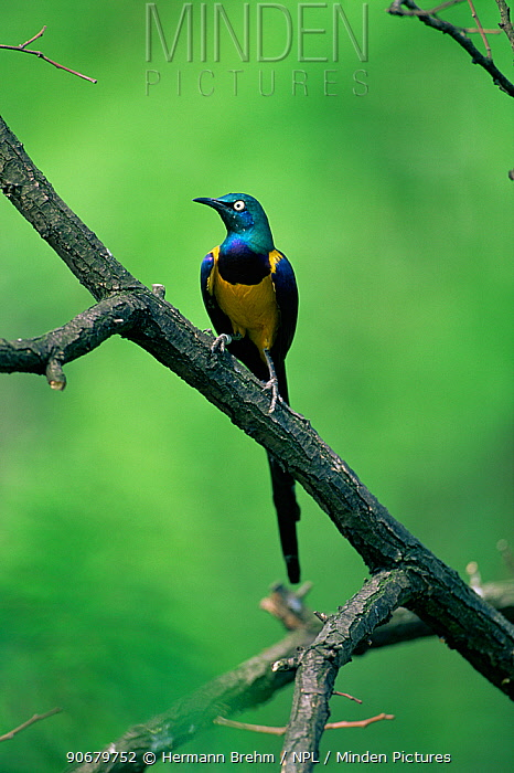 Golden-breasted, Royal Starling (Lamprotornis regius) perched on branch, Africa  -  Hermann Brehm/ npl