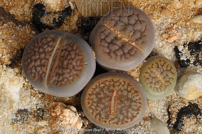 Living Stone plants (Lithops sp) in Namib desert, Namibia  -  Jouan & Rius/ npl