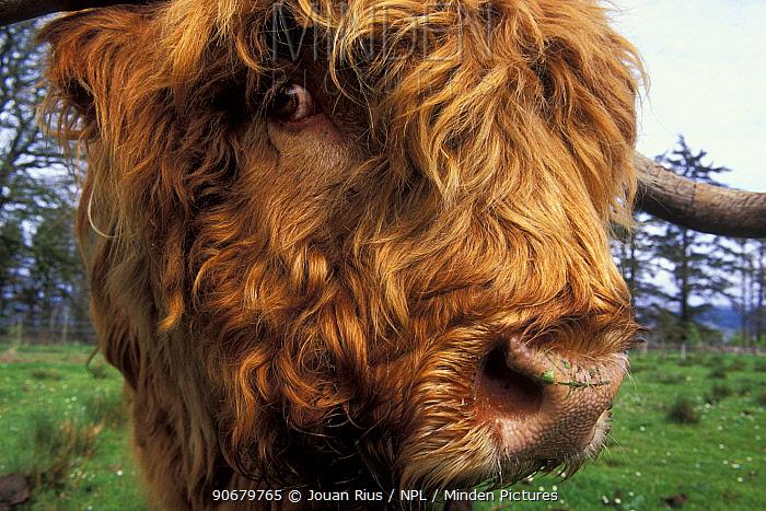 Highland cow (Bos taurus) close up of head, Scotland, UK  -  Jouan & Rius/ npl