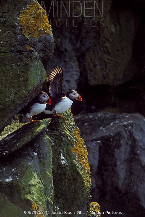 Puffin (Fratercula arctica) pair on sea cliffs, Shetland Islands, Scotland, UK  -  Jouan & Rius/ npl