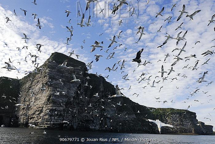 Northern gannet (Morus bassanus) flock in flight over nest colony site, Shetland Islands, Scotland, UK  -  Jouan & Rius/ npl