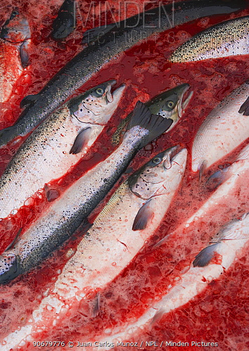 Atlantic salmon (Salmo salar) fish farm, fish ready for market, Baltasounds, Unst Island, Shetland Islands, Scotland, UK  -  Juan Carlos Munoz/ npl