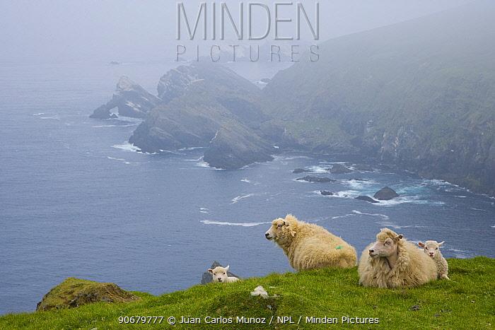Shetland sheep resting on grass on cliff tops, Hermaness Nature Reserve, Unst Island, Shetland Islands, Scotland, UK  -  Juan Carlos Munoz/ npl
