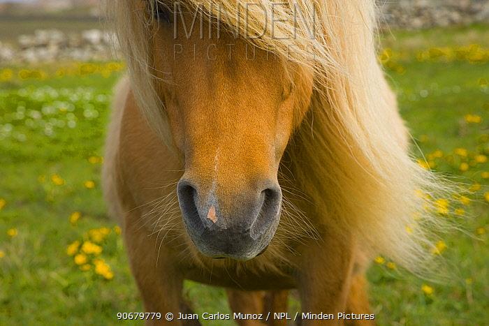 Close up of muzzle and mane of Shetland Pony, Shetland Islands, Scotland, UK  -  Juan Carlos Munoz/ npl