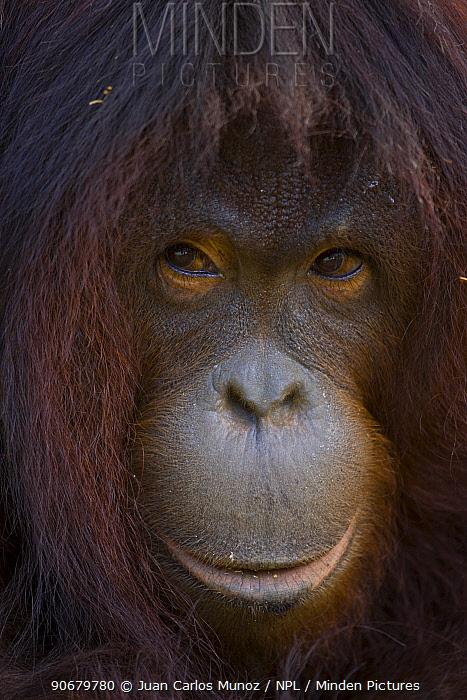 Orangutan (Pong pygmaeus) portrait, Sungai Kinabatangan, Sabah, Borneo, Malaysia  -  Juan Carlos Munoz/ npl
