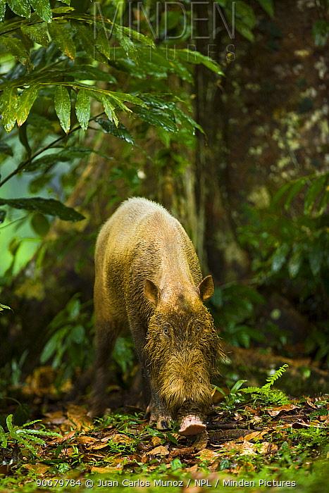 Bearded pig (Sus barbatus) in rainforest habitat, Danum valley forest reserve, Sabah, Borneo, Malaysia  -  Juan Carlos Munoz/ npl