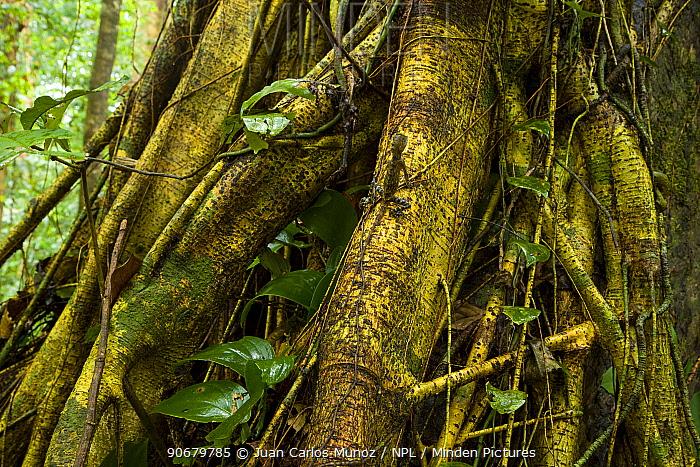Comb crested dragon lizard (Gonocephalus liogaster) on Strangler fig roots, Danum valley forest reserve, Sabah, Borneo, Malaysia  -  Juan Carlos Munoz/ npl