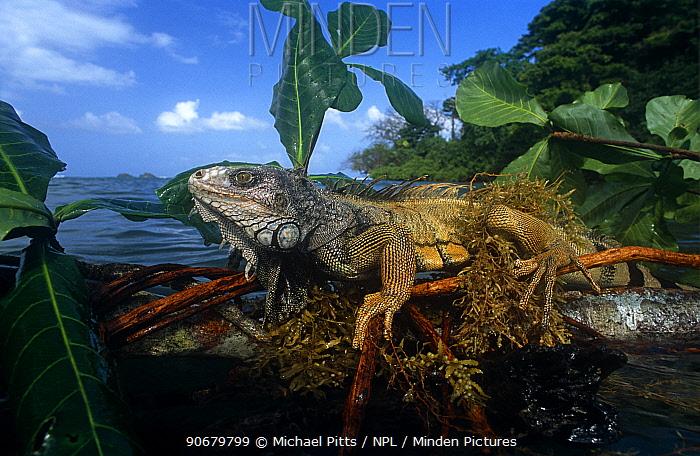 Common Iguana (Iguana iguana) clinging to floating tree branch, Eastern Seaboard of Panama  -  Michael Pitts/ npl