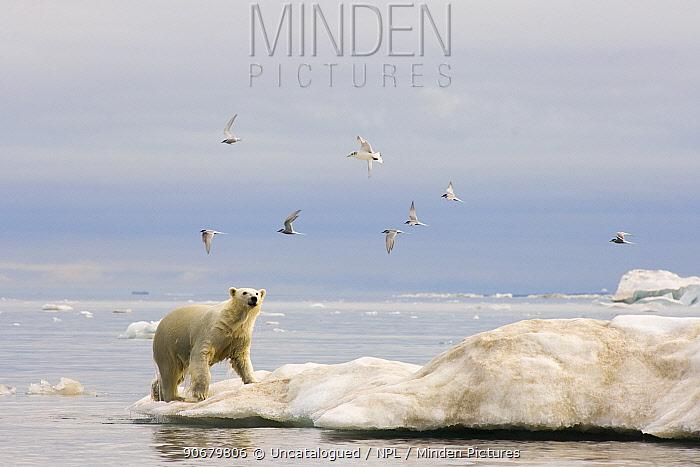 Polar bear (Ursus maritimus) climbing onto an iceberg with Arctic terns (Sterna paradisaea) flying overhead, Beaufort Sea, Arctic Ocean, Alaska  -  Steven Kazlowski/ npl