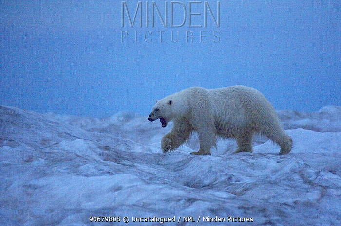 Polar bear (Ursus maritimus) walking across an iceberg at dawn, yawning its discomfort, Beaufort Sea, Arctic Ocean  -  Steven Kazlowski/ npl