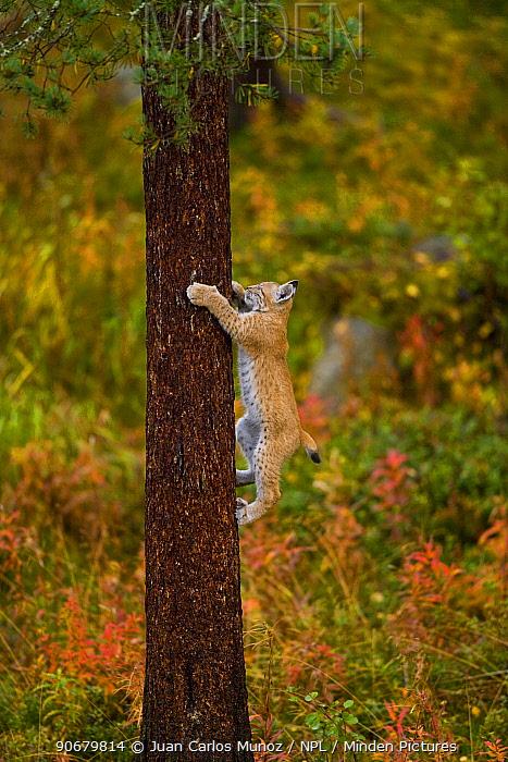 European lynx (Lynx lynx) climbing tree trunk in taiga woodland, autumn, Laponia, Lappland, Finland  -  Juan Carlos Munoz/ npl