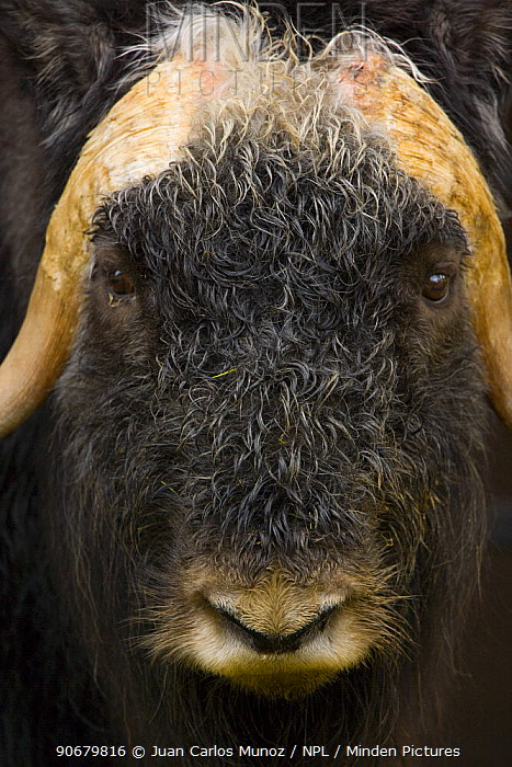 Muskox (Ovibos moschatus) head portrait, Laponia, Lappland, Finland  -  Juan Carlos Munoz/ npl