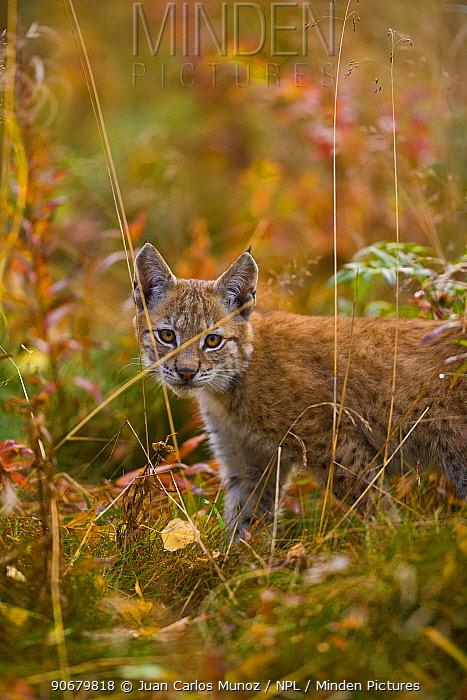 Young European lynx (Lynx lynx) Laponia, Lappland, Finland Captive  -  Juan Carlos Munoz/ npl
