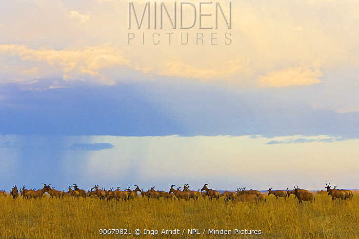 Topi (Damaliscus lunatus) herd on savanna, Masai Mara National Reserve, Kenya, Africa  -  Ingo Arndt/ npl