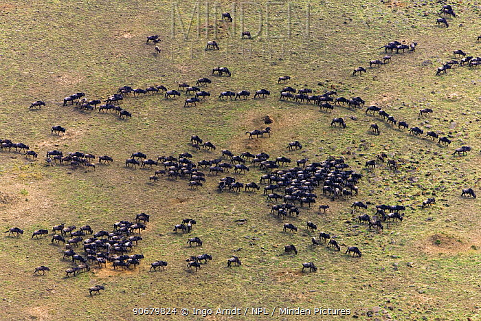 Aerial view of Wildebeest (Connochaetes taurinus) herd migrating, Masai Mara National Reserve, Kenya, Africa  -  Ingo Arndt/ npl