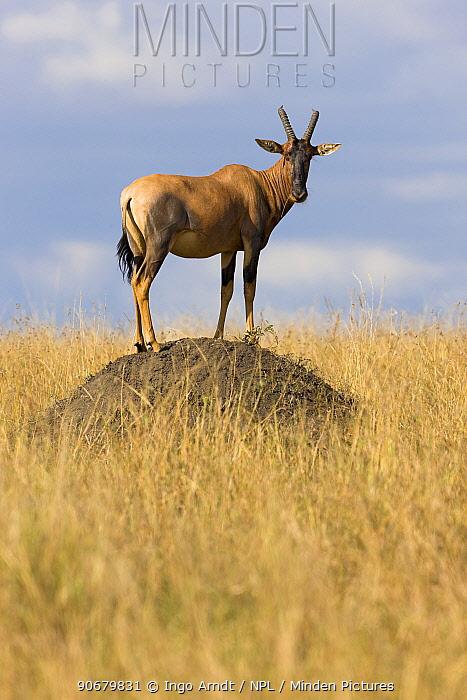 Topi (Damaliscus lunatus) guard standing on termite mound, Masai Mara National Reserve, Kenya, Africa  -  Ingo Arndt/ npl