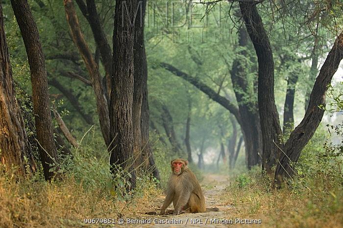 Rhesus macaque (Macaca mulatta) sitting on track in Keoladeo Ghana, Bharatpur NP, Rajasthan, India  -  Bernard Castelein/ npl