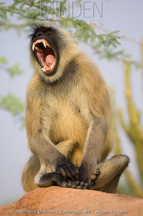 Southern plains grey, Hanuman langur (Semnopithecus dussumieri) sitting on rock showing threat behaviour, Rajasthan, India Not available for ringtone, wallpaper use  -  Bernard Castelein/ npl