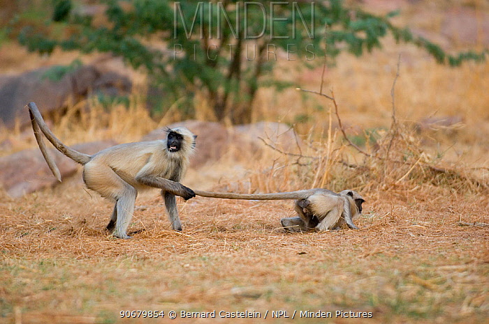 Southern plains grey, Hanuman langur (Semnopithecus dussumieri) play fighting, one pulling the other by the tail, Rajasthan, India  -  Bernard Castelein/ npl