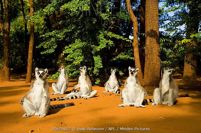 Ring-tailed lemur (Lemur catta) group sitting on ground, sunning in morning sun, Berenty private reserve, south Madagascar  -  Inaki Relanzon/ npl