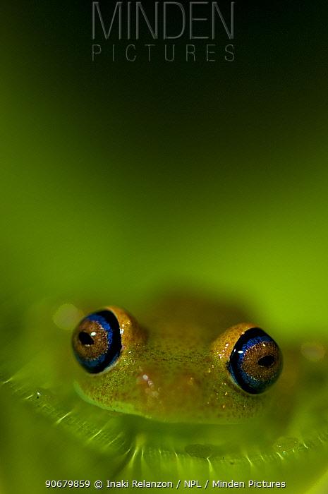 Tree frog (Boophis sp) Madagascar  -  Inaki Relanzon/ npl
