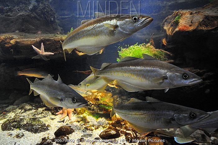 School of Pollack fish (Pollachius pollachius), North Sea, Europe, Captive  -  Philippe Clement/ npl