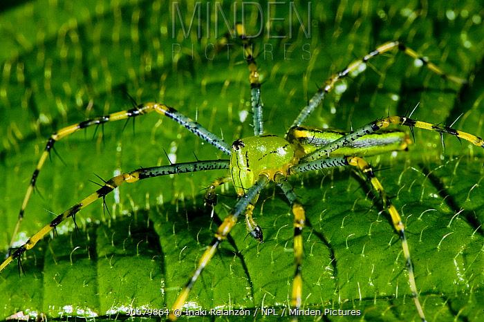 Malagasy green lynx spider (Peucetia madagascariensis) Marojejy National Park, North east Madagascar  -  Inaki Relanzon/ npl