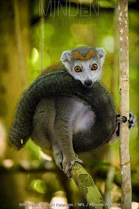 Crowned lemur (Eulemur coronatus) female, Ankarana Special Reserve, Ambilobe, North Madagascar  -  Inaki Relanzon/ npl