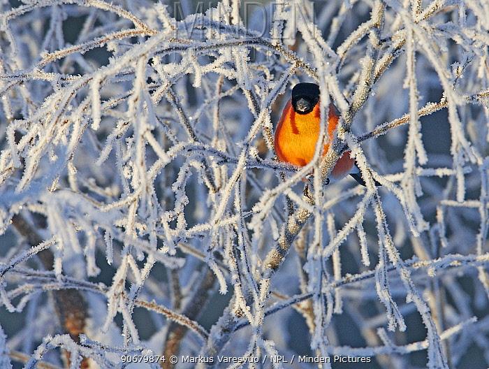 Bullfinch (Pyrrhula pyrhula) male perched amongst frozen branches, Kuusamo, Finland  -  Markus Varesvuo/ npl