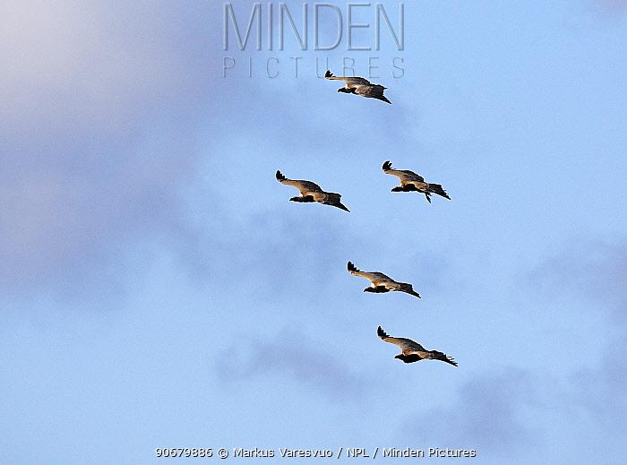 Griffon vulture (Gyps fulvus) five in flight, Spain, December  -  Markus Varesvuo/ npl
