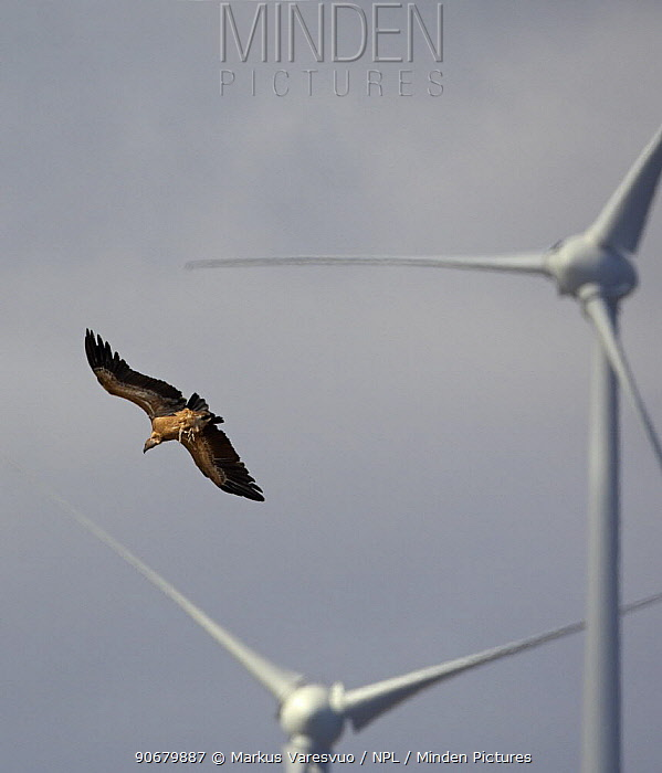 Griffon vulture (Gyps fulvus) in flight near wind turbines, Spain, September  -  Markus Varesvuo/ npl