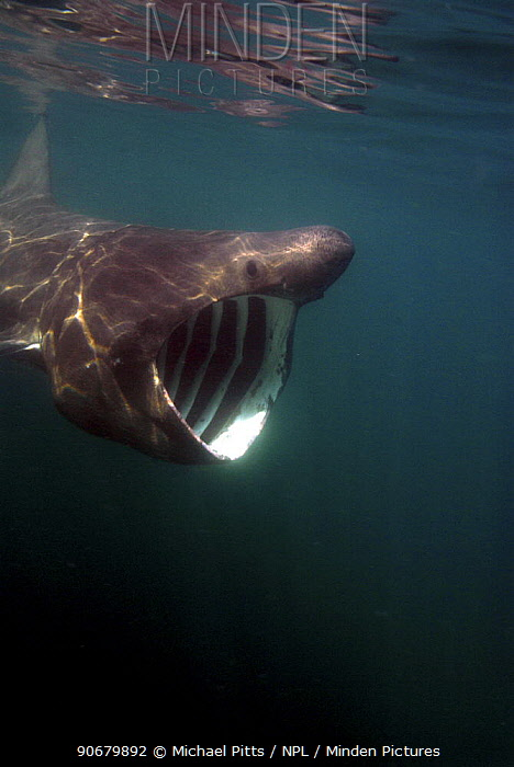 Basking shark (Cetorhinus maximus) feeding with mouth wide open, off Cornwall, UK  -  Michael Pitts/ npl